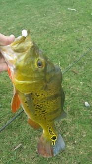 fat peacock bass