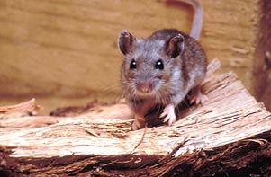 Mouse Maricopa Pest Control.jpg