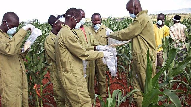 Klimaforandringerne øger risikoen for, at verdens afgrøder producerer giftstoffer. Her er folk ved at sprede Aflasafe på majs for at forhindre udviklingen af de giftige aflatoksiner. Foto: Joseph Atehnkeng/IITA/flickr