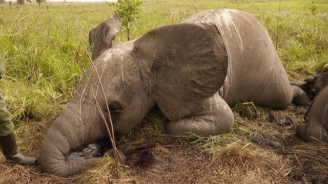 Tre betjente har netop mistet livet for at beskytte elefanter fra krybskytter. Foto: Nuria Ortega/African Parks Network