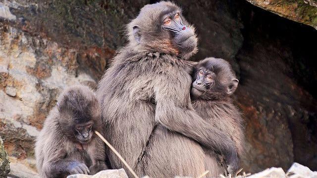 Bavianer er blandt ofrene for en ureguleret jagt i Limpopo, Sydafrika. Foto: Tambako The Jaguar/flickr