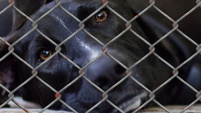 Det skal være muligt at give dyremishandlere en betinget frakendelse af retten tli at holde dyr, mener S, DF og LA. Foto: Pixabay