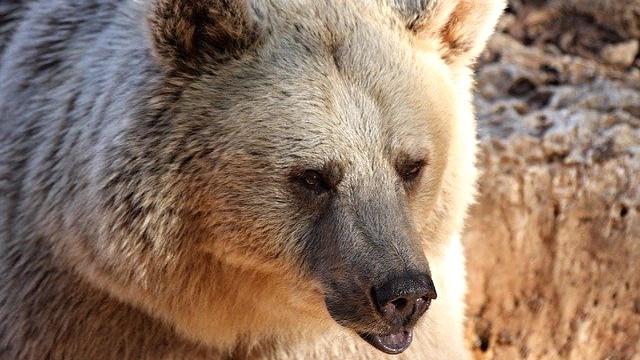 Det er en gråbjørn som denne, der netop er blevet aflivet i Yellowstone. Foto: Pixabay