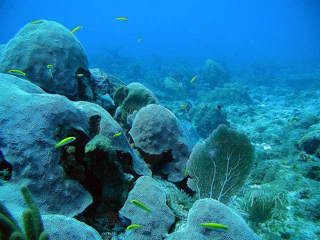 Koralrev som dette vil højst sandsynligt være fortid omkring 2050, hvis forureningen ikke nedtrappes markant. Foto: NOAA's National Ocean Service/flickr