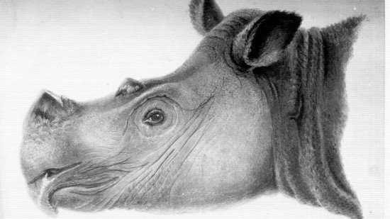 Sumatranæsehornet betragtes som uddød i naturen i Malaysia. Illustration: S. Mueller/Wikimedia Commons