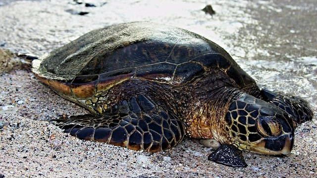 Plastik i kroppen forhindrer skildpadderne i at dykke efter føde. Foto: Pixabay
