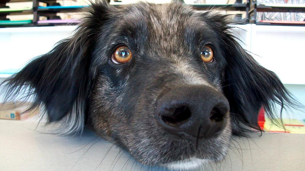 Øjenkontakt med en hund skaber en kemisk reaktion i menneskets hjerne, som forstærker tilknytningen. Foto: Wikimedia Commons
