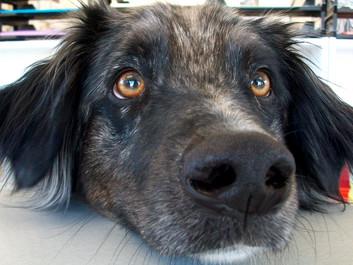 Forskere: Derfor knytter mennesker sig så meget til hunde