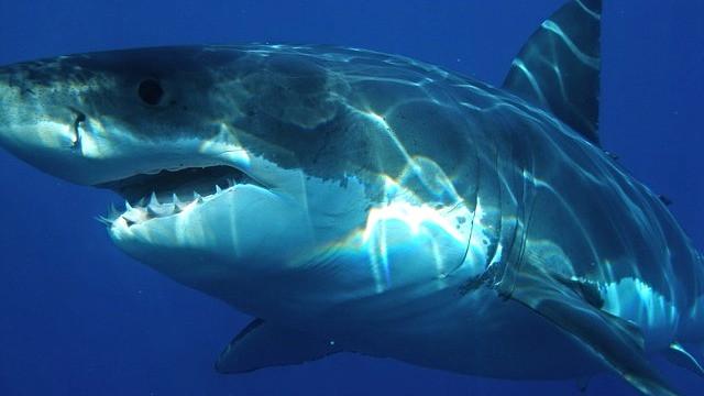 Der er nu så få individer af den hvide haj tilbage i havet ved Sydafrika, at arten sandsynligvis uddør i området. Foto: Pixabay