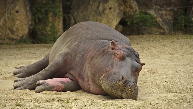 Flodheste og bøfler må nu aflives i Kruger National Park, da de ellers vil dø af sult. Genrefoto: Pixabay