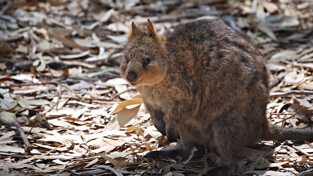 """Quokkaen, der betegnes som """"verdens gladeste dyr"""" er truet. Arkivfoto: Wikimedia Commons"""
