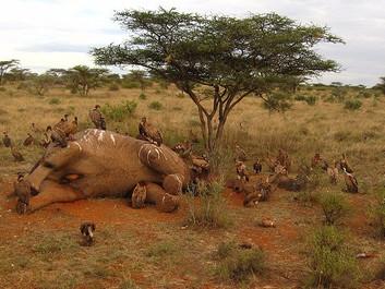 Elefanter mejet ned med maskinpistoler