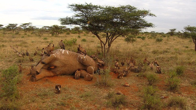 En flok elefanter blev angrebet af krybskytter bevæbnet med maskinpistoler. Genrefoto: meaduva/flickr