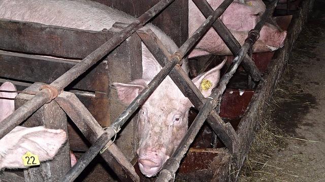 Fra og med 2022 bliver det i Massachusetts, USA, forbudt at opdrætte og sælge kød fra dyr, som har været fastspændt. Foto: Pixabay