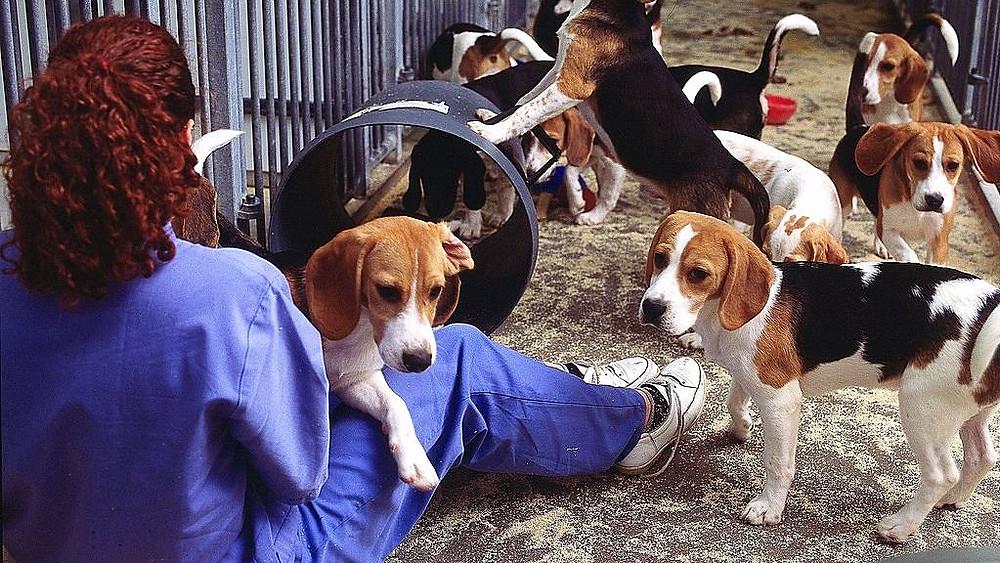 Dyreforsøg omfatter alt fra fisk over marsvin og hunde til aber. Det rejser dog også etiske spørgsmål. Foto: understandinganimalresearch.co.uk