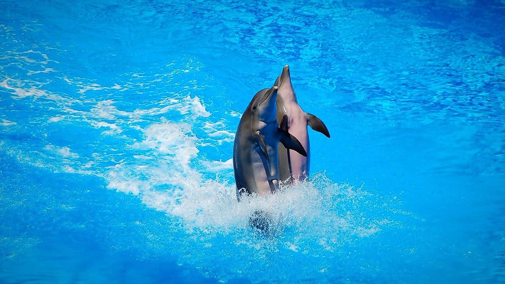 Det skulle have været ulovligt at avle på delfiner i fangenskab, men lovforslaget er blevet underkendt i retten. Foto: Pixabay