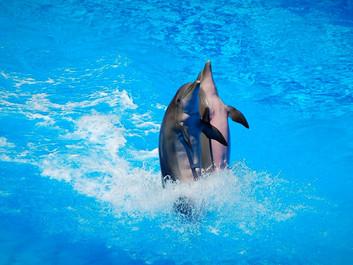 Forbud mod at avle hvaler og delfiner i fangenskab annulleres