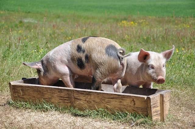 Dyr bør leve i omgivelser, der er naturlige for dem, mener professor i bioetik Mickey Gjerris. Foto: Pixabay