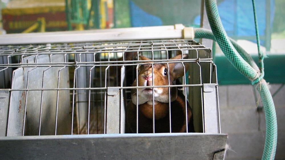 Orylag-kaninerne lever her i bure af en størrelse på cirka to skotøjsæsker. Deres pels bruges bl.a. til bamser. Foto: caft.org