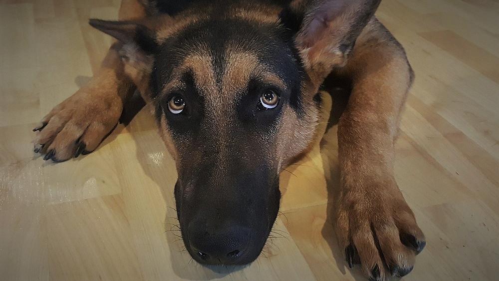 En schæferhund ligger på gulvet og ser op