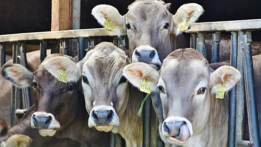 Oksekød er ikke overraskende den helt store klimasynder ifølge et nyt studie. Det viser dog også, at der er store forskelle på, hvor meget den samme produktion udleder fra bedrift til bedrift. Foto: Pixabay