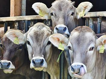 Kødproduktionen optager 83 pct. af arealerne, men giver kun 18 pct. af kalorierne