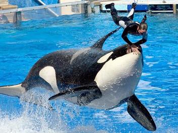Forfatter kritiserer SeaWorld: Det er uværdigt at holde dyr fanget
