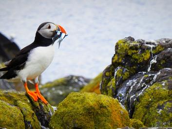 Hver 8. fugl er truet af udryddelse