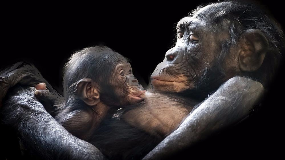 Fire af de seks menneskeaber er nu kritisk truede ifølge IUCN. Foto: Pixabay