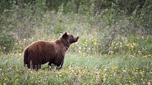 Den amerikanske grizzlybjørn er en af dyrearterne, der kan tage skade af sprøjtegifte, viser en ny analyse af EPA. Foto: Pixabay