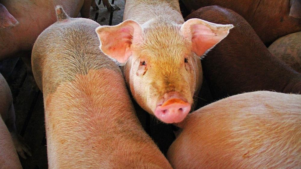 Danske konventionelle grise har alt for lidt plads og beskyttes ikke af lovgivningen, mener skribenten bag dette debatindlæg. Foto: Green Fire Productions (billedet er fra en produktion i et ikke angivet land)
