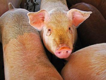 Dansk lovgivning billiger mishandling af 30 mio. svin