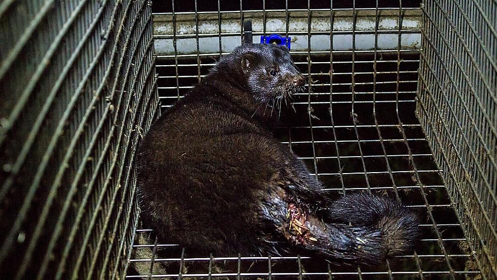 Den norske regering vil forbyde pelsproduktionen. Landet opdrætter hvert år 700.000 mink til pels. Billedet her er fra en lettisk minkfarm. Foto: Dzīvnieku brīvība/flick