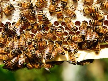 Forskere har fundet ny sammenhæng mellem sprøjtegifte og biers massedød