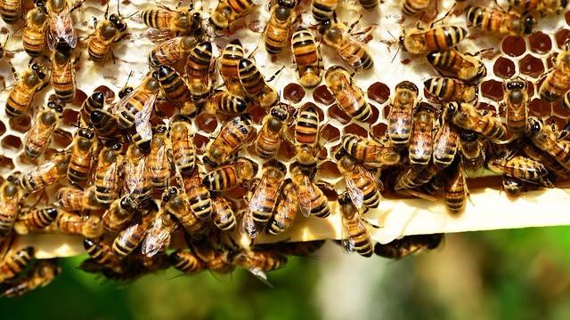Forskere har fundet en sammenhæng mellem kolonidød hos bier og antallet af forskellige sprøjtegifte. Foto: Pixabay
