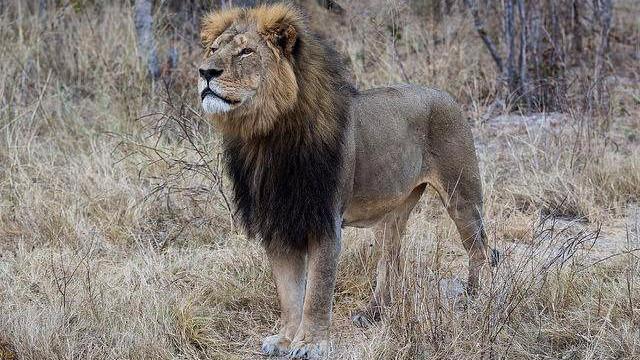 Cecil (billedet) kunne kendes på sin sorte manke. Efter hans død skulle Jericho overtage rollen som alfahan i flokken. Rygter svirrer nu, at Jericho er blevet skudt. Foto: Vince O'Sullivan