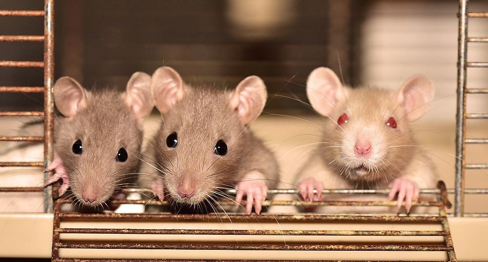 Tre rotter står i et bur og ser ud