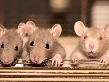 Forskere finder betydningsfuldt fællestræk mellem rotter og mennesker