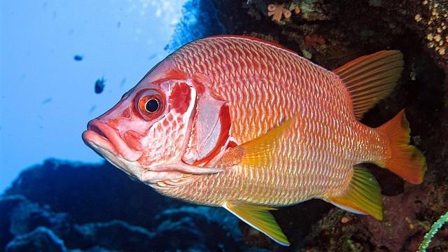 Fisk tænker og føler, konkluderer forskeren Jonathan Balcombe, der netop har udgivet en bog om emnet. Foto: Pixabay