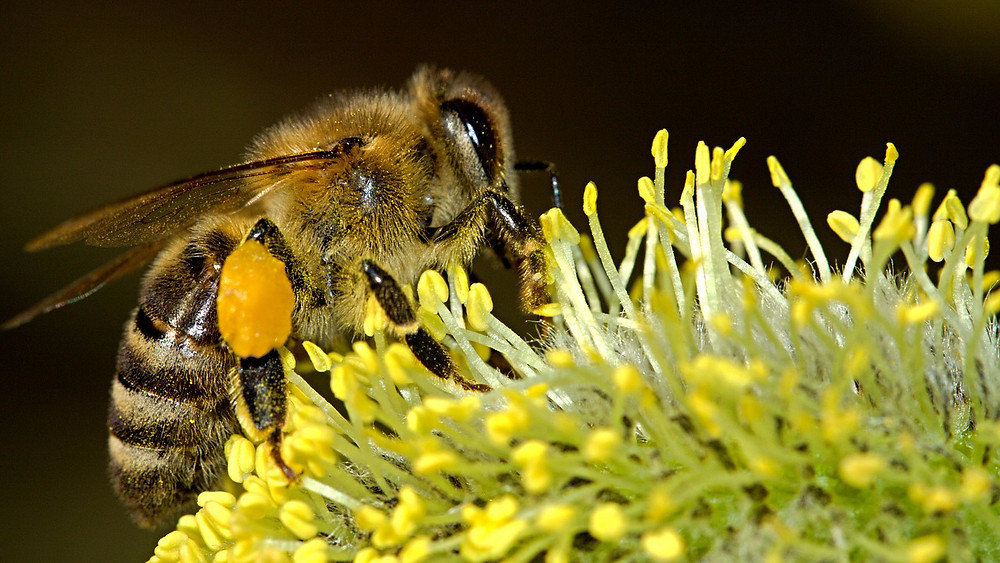 Kombinationen mellem dårlig næring og insektgifte øger biers dødelighed, viser ny forskning. Foto: Pixabay