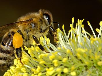 Ny forskning: Pesticider skader bier mere end hidtil troet