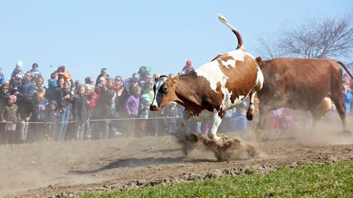 Øko-dagen, når økologiske køer kommer på græs, er en årlig begivenhed. Nu vil Kiwi øge sit økologiske sortiment. Foto: Økologisk Landsforening