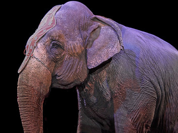 Cirkus giver comeback til elefanter