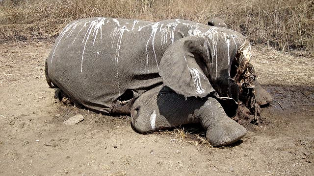 På grund af omfattende krybskytteri i den østlige del af Den Centralafrikanske Republik er elefanten næsten udryddet i regionen. Foto: International Fund for Animal Welfare/flick