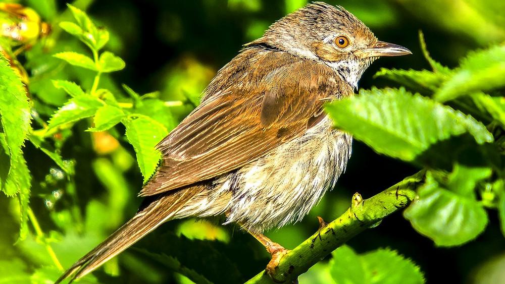 Tornsangeren er blandt de fugle, der er gået tilbage i antal i Frankrig. Foto: Pixabay