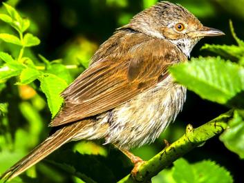 Danmark er ikke alene: Fuglene forsvinder også i resten af EU