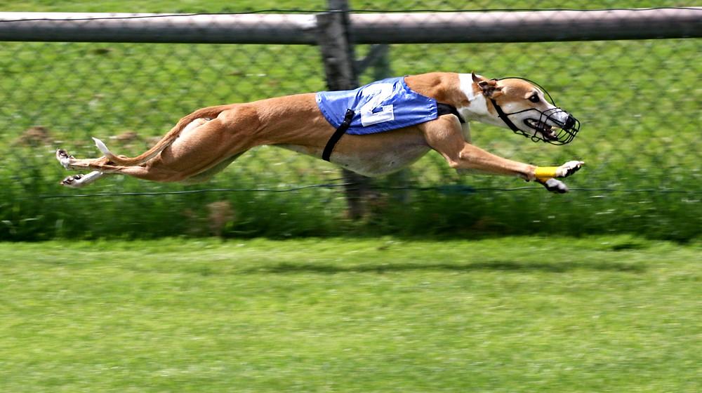 Greyhound-industrien er atter indblandet i en sag om mishandling af dyr.