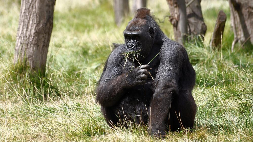 Et nyt studie viser, at bjerggorillaerne er ramt af indavl.