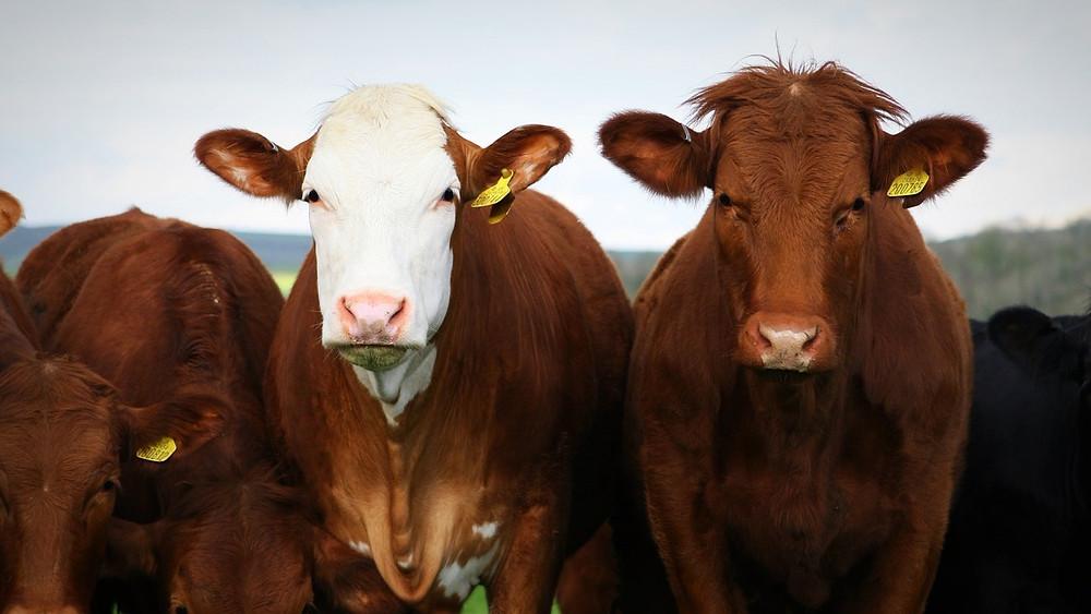 IPCC's beregningsværktøj over dyreholds udledning af metangas er forældet og måler et for lavt udslip, viser ny forskning.