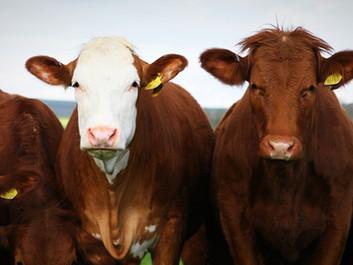 Amerikanerne har sænket deres klimabelastning ved at spise færre bøffer